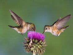 Dos colibrís libando en la misma flor