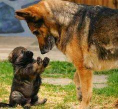 Anne dur! #köpek #dog #alman çoban köpeği