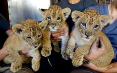 UPDATE! The Honolulu Zoo's trio of Lion cubs, born on December 15, are growing strong, thanks in part to play. See new pictures and watch a video of them playing together behind the scenes on ZooBorns.com.