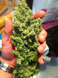 Un #cogollo de #marihuana estupendo de #KandyKush #Dna #Genetics, #manicurado y listo para el #secado.
