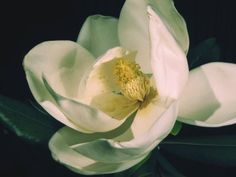 love magnolia flowers...would make a beautiful, richly colored tattoo.
