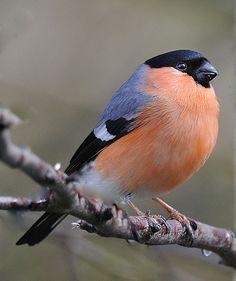 A bullfinch, a common garden bird, and very smart-looking Pretty Birds, Love Birds, Beautiful Birds, Animals Beautiful, Cute Animals, Small Birds, Little Birds, Colorful Birds, Especie Animal