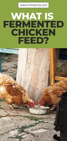 Fermented chicken feed is nothing but chicken feed mixed with water and left to ferment for a while in order to increase its nutritional content. Let's read more details. Chicken Facts, Chicken Life, What To Feed Chickens, Raising Chickens, Backyard Farming, Chickens Backyard, Organic Chicken Feed, Subsistence Agriculture, Portable Chicken Coop