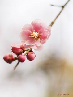 Japanese plum by usagi505