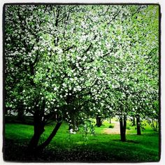 Spring apple blossoms - Tyler Place Family Resort