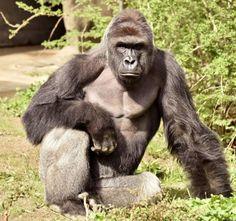 Gorilla doodgeschoten met jongetje (4) tussen poten - Het Nieuwsblad