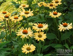 Echinacea 'Aloha' - Wide, melon yellow petals surround orange cones on this all summer to frost bloomer. A very welcoming and elegant plant that greets you with its fragrance and beauty. Use en masse for the border, in a mixed bed, and as a cut flower.