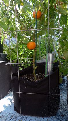 Geopot was converted into a sub-irrigated planter (SIP) with a square trellis placed around the exterior of the bag. Worked very well. Johanne Daoust's Roof-top vegetable garden. 2012.
