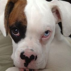 Blue eye Source by The post Precious white boxer. Blue eye appeared first on Stubbs Training. White Boxer Puppies, White Boxers, Boxer And Baby, Boxer Love, Blue Eyed Dog, Puppies With Blue Eyes, Boxer Dogs Facts, Mini Bulldog, Boxer Breed