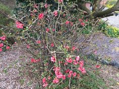 Flowering Quince (chaenomeles species): It produces bright flowers that are red, salmon, pink, orange, peach, or white late in winter or early spring. Occasionally produces fruit as well, which resembles a small edible quince but is hard. Prefers full sun and regular to moderate water depending on weather conditions. Popular in cut flower arrangements.
