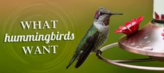 Not sure when to hang a hummingbird feeder, or where? What about how to deal with territorial birds? We've got all the answers. #birds #animals