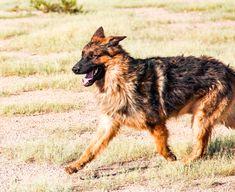 www.elitek-9.com   #germanshepherd #gsd #protectiondogs #exotics #luxurylife #czechshepherd Executive Protection, Working Dogs, German Shepherds, Luxury Life, Dog Training, Puppies, Animals, Luxury Living, Cubs