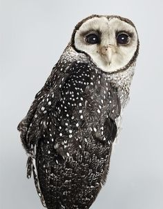 'Sooty' Lesser Sooty Owl, 2014. Part of Leila's upcoming exhibition 'Prey' at Olsen Irwin Gallery. Photo – Leila Jeffreys