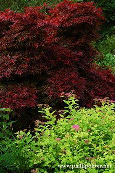 Japanese Maple (Acer palmatum 'Shaina')