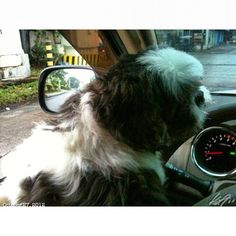 #車 大好き Pepper!! he loves driving #car#shihtzu#dog#drive#philippines#フィリピン#シーズー#犬