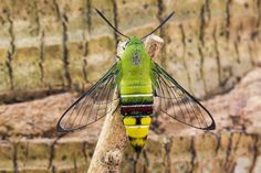 Pellucid hawk-moth: This unusual species leaves the beautiful coloring to its body, while keeping its wings a minimalist accessory.
