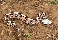 East African colour form of the Gaboon viper (or adder), Bitis gabonica.