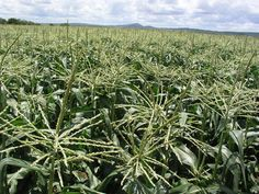 Sweet corn maize is a mutant of maize that contains at least double the sugar content of traditional maize. Corn Vegetable, Vegetable Farming, Corn Maize, Corn Plant, Organic Compost, Fertilizer For Plants, Corn On Cob, Top Soil, Sweet Corn
