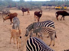 Experience the African Savanna at Arizona's Out of Africa Wildlife Park with safari tours, zip line rides, animal shows and more.