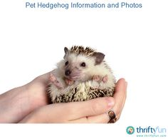 This is a guide about pet hedgehog information and photos. Hedgehogs are a good choice for a family pet if you are looking for an exotic pet that is small, relatively easy to care for, and quite friendly.