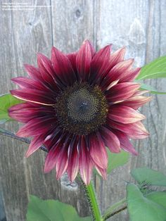 Sunflower 'Ruby Eclipse'