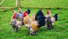 Lemon Millefleur Sablepoots - Rosie's Rare Breed Poultry