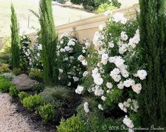 italian cypress and climbing iceberg roses in a narrow planter bed