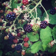 The blackberries are ripening very early this year. Slow down summer, I want you to last longer!