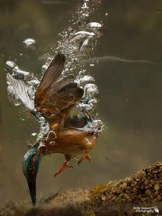 hoe vangt een Ijsvogel zijn ontbijt? - Vogels (ijsvogel, koolmees, vink) - ijsvogel