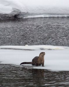 River otter, Obsidian Creek, Yellowstone National Park, Wyoming