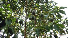 Herbal Plants, Mindanao, All Plants, Herbalism, Avocado, Flora, Butterfly, Garden, Pictures