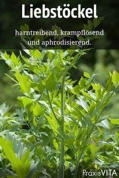 Liebstöckel lindert Entzündungen der Harnwege The antispasmodic effect of lovage is proven. It relieves inflammation of the urinary tract and prevents urinary distress. Diy Herb Garden, Edible Garden, Vegetable Garden, Healing Herbs, Medicinal Herbs, Green Superfood, All Plants, Herbal Medicine, Natural Health