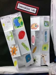 Cool cell type foldable   Love helping students see that there are many types of cells instead of one generic non-existing cell