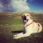 Iconosquare – Instagram webviewer Labrador Retriever, Dogs, Animals, Instagram, Labrador Retrievers, Animales, Animaux, Pet Dogs, Doggies