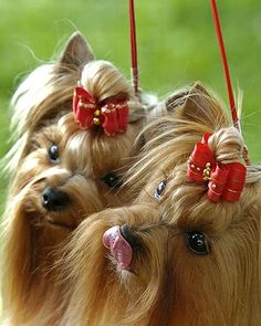 yorkshire-terriers_685459n.jpg (406×508)