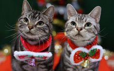 12 purrfect British Christmas gifts for cat lovers (Christmas by K-nekoTR under CC BY-NC-ND Cat Lover Gifts, Cat Gifts, Cat Lovers, Christmas Kitten, Christmas Animals, Christmas Time, Red Christmas, Pretty Cats, Beautiful Cats
