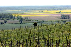 Sprawdź, jak smakuje słowacki Tokaj! Vineyard, Mountains, Nature, Travel, Outdoor, Viajes, Outdoors, Naturaleza, Destinations