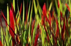 Japans Bloedgras; Imperata cylindrica `Red Baron` Bladkleur: Van groen naar bruinrood. Bloeitijd:  n.v.t. Hoogte: 40 cm Standplaats: zon Aantal planten per m2: 7 Opvallend siergras, naarmate de zomer vordert wordt het blad volledig rood, dit gebeurt alleen als de plant in de zon staat.