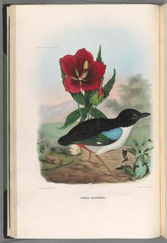 Great Pitta.Illustration taken from 'A Monograph of the Pittidae...