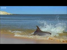 Hydroplaning Dolphins Video - Planet Earth - BBC :: Sonlight - Core A, Week 4 - Dolphin Adventure