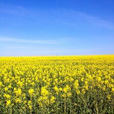 fields of rapeseed flower/blossom, near Fort Nelson on Portsdown Hill, Portsmouth