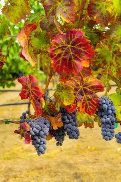 size: Photographic Print: Cabernet Sauvignon Grapes in Columbia Valley, Washington, USA by Richard Duval : Artists Fall Pictures, Nature Pictures, Art Du Vin, Vides, Fruit Photography, Spring Landscape, Winter Scenery, Tropical Art, Fruit Garden