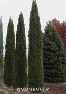 formal skinny evergreens - Bing Images