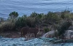Watch: Lion's Head hikers astounded by rare sighting of a wild caracal  This is why we hike, guys. Louis Stanford was able to capture the breathtaking moment a caracal corssed his path during an early morning trek up Lion's Head https://www.thesouthafrican.com/caracal-spotted-lions-head-video/