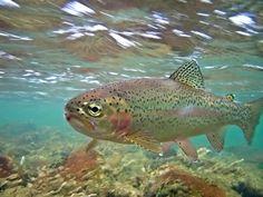 Underwater rainbow trout picture