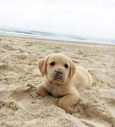 Lab Puppies 28 Things You'll Only Understand If You Have A Labrador - They're the goodest boys. Cute Baby Animals, Animals And Pets, Funny Animals, Cute Puppies, Dogs And Puppies, Cute Dogs, Doggies, Cute Animal Pictures, Dog Pictures