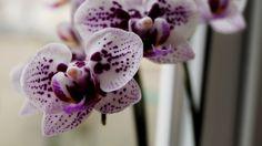 Орхидея-фаленопсис