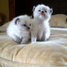 2 1/2 week old Ragdoll Kittens :)