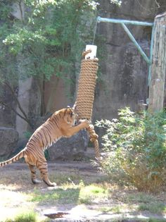 Interesting idea. Elevated scratching post for the bobcats. attach the thick rope at the bottom so they can pull it around. Maybe put it on a zipline??