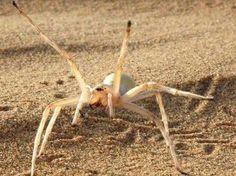 """Encontrada no deserto do Marrocos, esta aranha ágil usa um truque digno de ginastas para escapar de situações ameaçadoras. Qdo se sente em risco, a aranha assume logo uma postura ameaçadora, mas, se o perigo persiste, as corridas se tranformam numa série de """"cambalhotas"""" velozes. Faz suas rotações em terrenos planos, declives e em subidas. As altas temperaturas do seu habitat seria fatal p/a aranha se ela persistisse nessa rotina de piruetas, q demanda mta energia."""